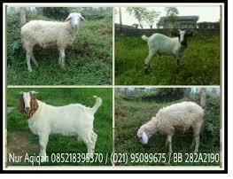 kambing-aqiqah-sehat-dan-sesuai-syariat